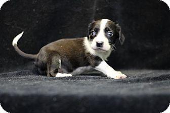 Beagle Mix Puppy for adoption in Danbury, Connecticut - Phoenix