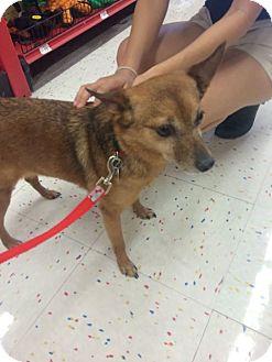 Chihuahua Mix Dog for adoption in Mesa, Arizona - REX 9 YR CHIHUAHUA@PETCO