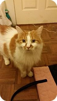 Domestic Longhair Cat for adoption in Chicago, Illinois - Gabby