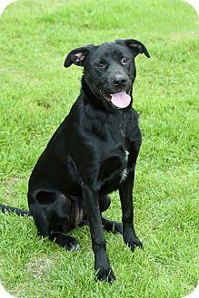 Labrador Retriever/Australian Cattle Dog Mix Dog for adoption in Pilot Point, Texas - ELSIE