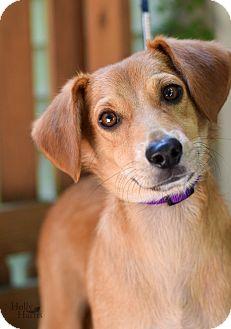 Sheltie, Shetland Sheepdog/Hound (Unknown Type) Mix Dog for adoption in Baton Rouge, Louisiana - Phil