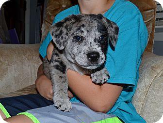 Labrador Retriever/Australian Shepherd Mix Puppy for adoption in Plainfield, Connecticut - CHIP