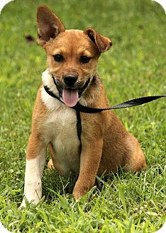 Corgi/Jack Russell Terrier Mix Puppy for adoption in Windham, New Hampshire - Lizzy