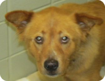 Chow Chow Mix Dog for adoption in Aiken, South Carolina - MOLLY