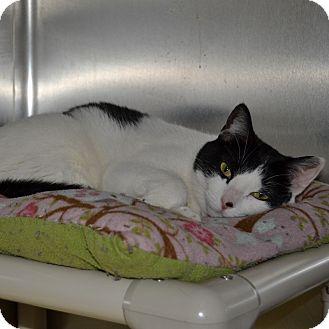 Domestic Shorthair Cat for adoption in Wheaton, Illinois - Jane