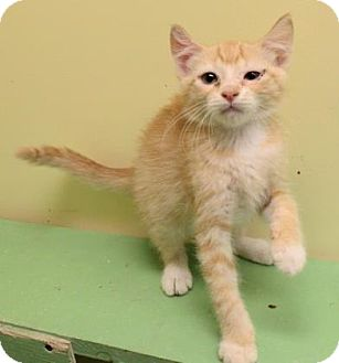 Domestic Shorthair Kitten for adoption in West Des Moines, Iowa - Tony
