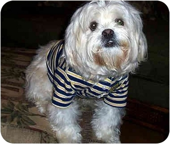 Lhasa Apso Dog for adoption in Los Angeles, California - ARBY