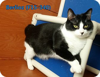 American Shorthair Cat for adoption in Tiffin, Ohio - Berlioz