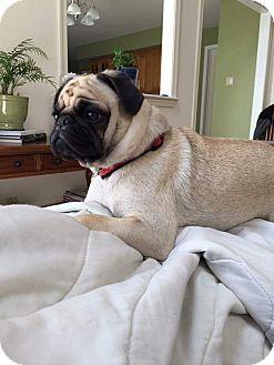 Pug Mix Dog for adoption in Exton, Pennsylvania - Frank (Foster)