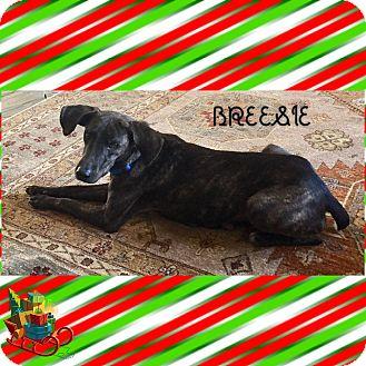 Mountain Cur/Spaniel (Unknown Type) Mix Dog for adoption in Brattleboro, Vermont - BREESIE