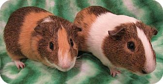 Guinea Pig for adoption in Highland, Indiana - Duey