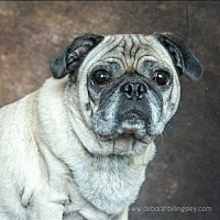 Pug Mix Dog for adoption in Tontitown, Arkansas - Donner