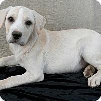 Adopt A Pet :: Tulip - East Hartford, CT