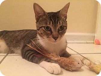 Domestic Shorthair Cat for adoption in Vineland, New Jersey - NEW KITTY: Finn