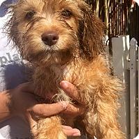 Adopt A Pet :: Sherman - Santa Ana, CA