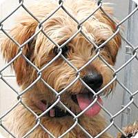 Adopt A Pet :: Maple - Boulder, CO
