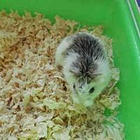 Adopt A Pet :: GROUCHO - Van Nuys, CA