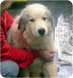 Great Pyrenees Dog for adoption in Manassas, Virginia - Gravy