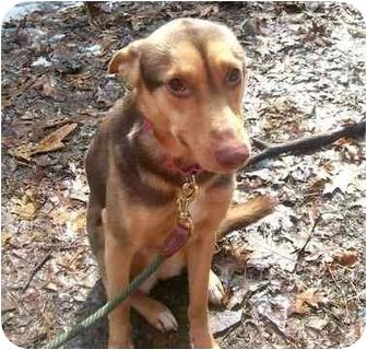 German Shepherd Dog/Siberian Husky Mix Dog for adoption in Oak Ridge, New Jersey - Harmony