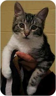 Domestic Shorthair Kitten for adoption in Phoenix, Oregon - Elan