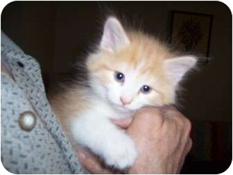 Maine Coon Kitten for adoption in Taylor Mill, Kentucky - Tangie