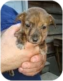 Chihuahua/Terrier (Unknown Type, Small) Mix Puppy for adoption in Portland, Maine - Sunrise