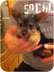 Yorkie, Yorkshire Terrier Puppy for adoption in Lonedell, Missouri - Peppermint