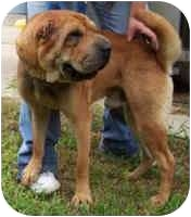 Shar Pei Dog for adoption in Beloit, Wisconsin - Hooch