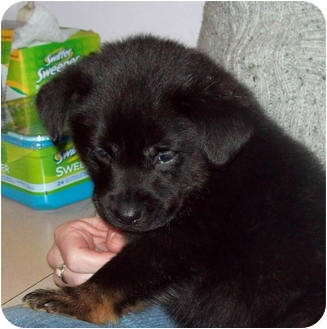 German Shepherd Dog/Labrador Retriever Mix Puppy for adoption in Southport, North Carolina - TEDDY