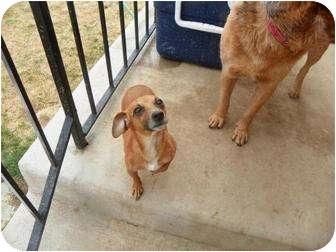 Chihuahua/Dachshund Mix Dog for adoption in Roosevelt, Utah - Angel