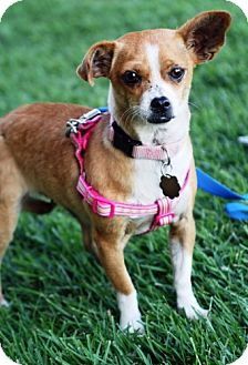 Chihuahua Mix Dog for adoption in Simi Valley, California - Little Girl