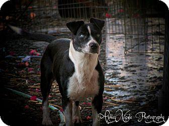 Rat Terrier/Border Collie Mix Dog for adoption in San Diego, California - Dodger