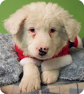 Great Pyrenees/Border Collie Mix Puppy for adoption in Struthers, Ohio - Elf
