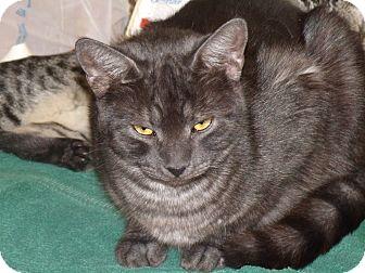 "Domestic Shorthair Cat for adoption in Scottsdale, Arizona - Declan -""gentle man""- 7-2011"