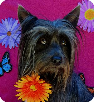 Chinese Crested/Silky Terrier Mix Dog for adoption in Irvine, California - Lucy