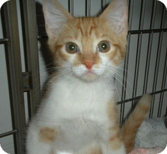 Domestic Shorthair Kitten for adoption in Bayonne, New Jersey - Sully