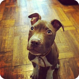 Pit Bull Terrier Mix Puppy for adoption in Brooklyn, New York - Robert
