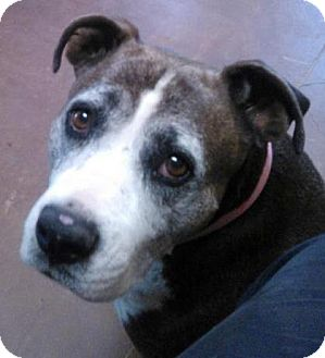 Boxer/American Pit Bull Terrier Mix Dog for adoption in Scottsdale, Arizona - Freckles