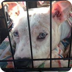 American Bulldog Mix Puppy for adoption in Andrew, Iowa - Snow