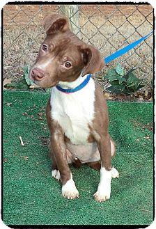 Labrador Retriever Mix Puppy for adoption in Marietta, Georgia - BAMBI