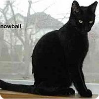 Adopt A Pet :: Snowball - Portland, OR