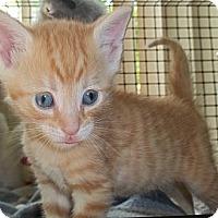 Adopt A Pet :: Bogey - Acme, PA