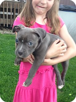 Pit Bull Terrier Mix Puppy for adoption in Chicago, Illinois - Hazel