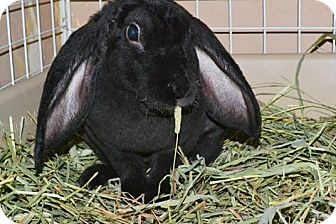 Lop, English Mix for adoption in Edinburg, Pennsylvania - Minnie