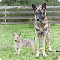 Adopt A Pet :: BELLA - Kingston, WA