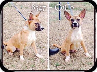 Shepherd (Unknown Type) Mix Dog for adoption in Dillon, South Carolina - CoCo