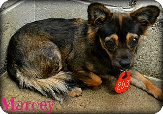 Pomeranian/Chihuahua Mix Dog for adoption in Beaumont, Texas - Marcey