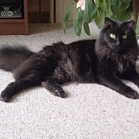 Domestic Mediumhair Cat for adoption in Alexandria, Virginia - Felix
