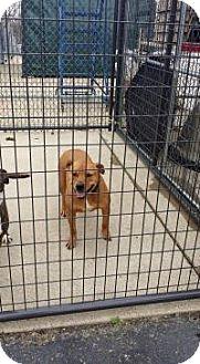 Pit Bull Terrier Mix Dog for adoption in Hopkinsville, Kentucky - Ginger