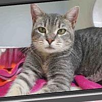 Egyptian Mau Cat for adoption in Cerritos, California - Tawny